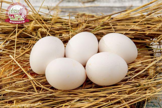 Инкубационные яйца Леггорн, высокопродуктивные куры несушки