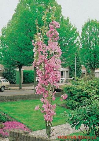 Amanogawa wiśnia kolumnowa 100cm