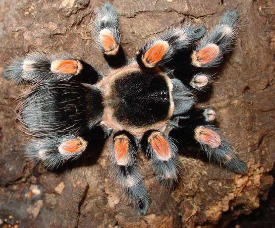 Паук Brachypelma hamorii (ex Brachypelma  smithi), самец.