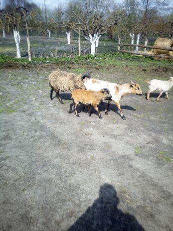 Sprzedam owce dorosłe