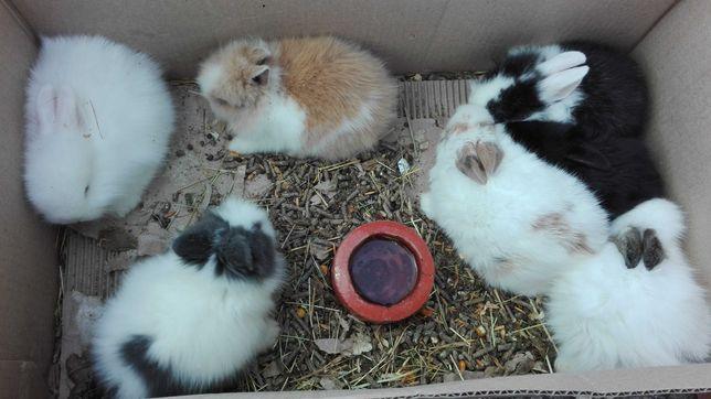 Vendo mini coelho anão