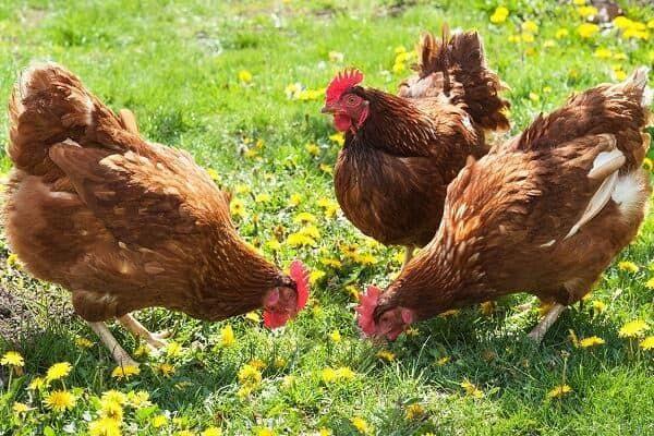 Инкубационное яйцо кур-несушек