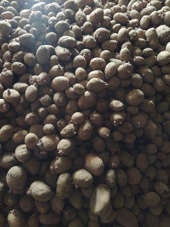 Ziemniaki jadalne nie sortowane za darmo