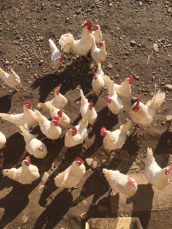 Легорнн інкубаційнеі свіжі яйця