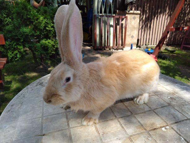 Sprzedam królika samca BELGa