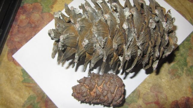 Кедрові шишки , горішки ,насіння ,кедр Дальновосточный семена кедра