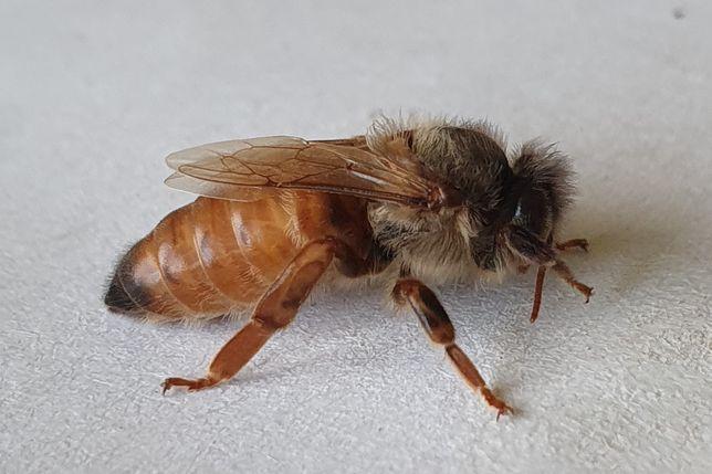 Matki pszczele GRATISY Szron Hinderhofer Włoszka