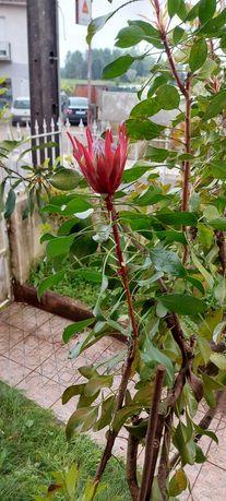 Vendo Protea vermelha