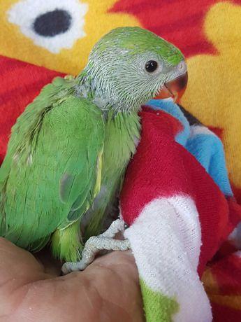 Попугай ожереловый,волнитстые попугаи