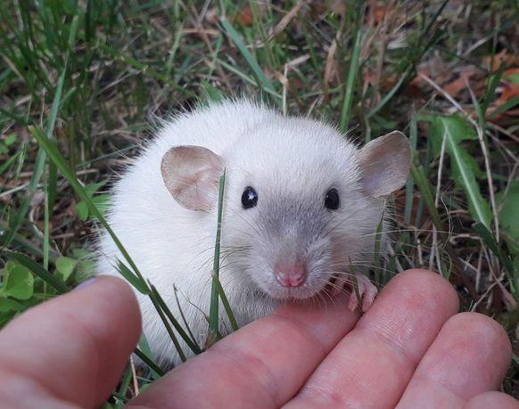 Dumbo Siamese Point, Velveteen - szczur, szczury, szczurki, szczurek