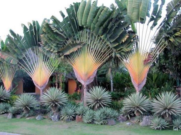 Árvore do viajante 5 sementes