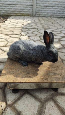 Крольчата Полтавское серебро