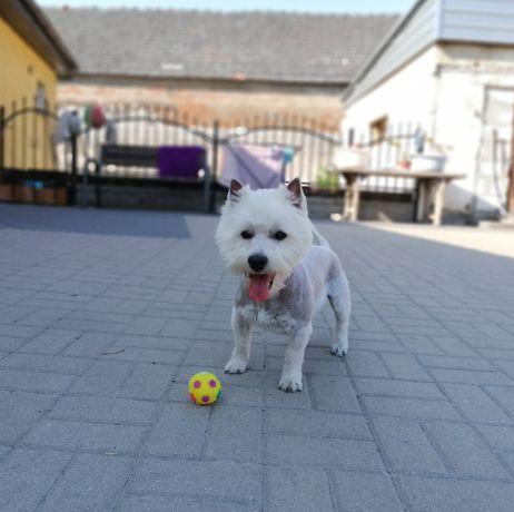 West terrier - super piesek