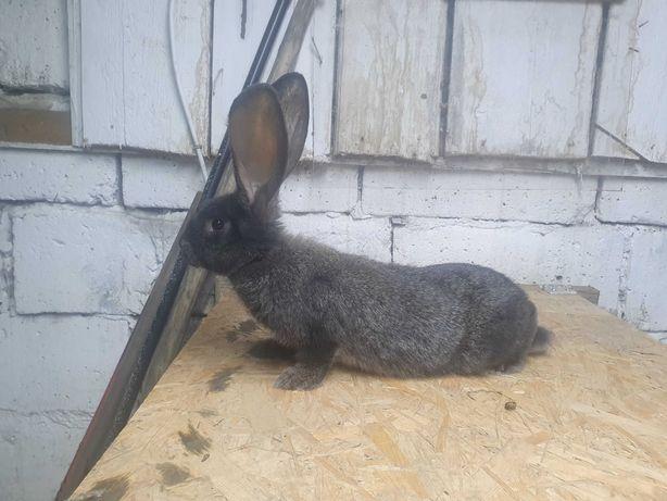 Krolik królica Samica mieszaniec po duzych rodzicach