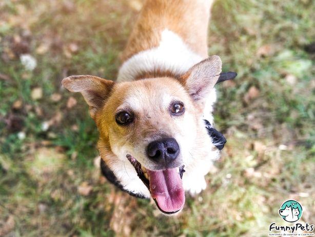 Malutki, biało rudy, pies Biszek bez łapki do adopcji!