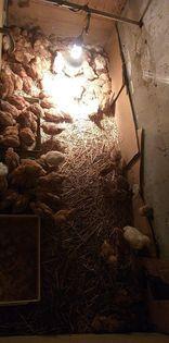 Sprzedam Kurczaki 6 tygodniowe