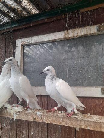 Gołębie ozdobne srebrniaki para