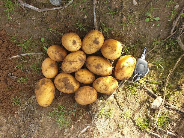 Ziemniaki sagita jadalne