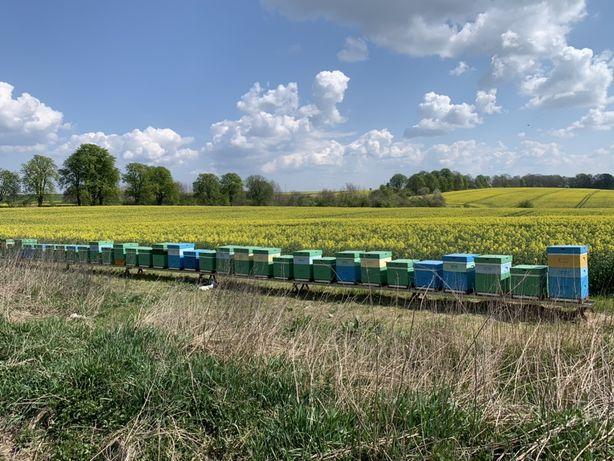 Miód pszczeli,pasieka,rodziny pszczele,ule,pszczoły,matki pszczele,