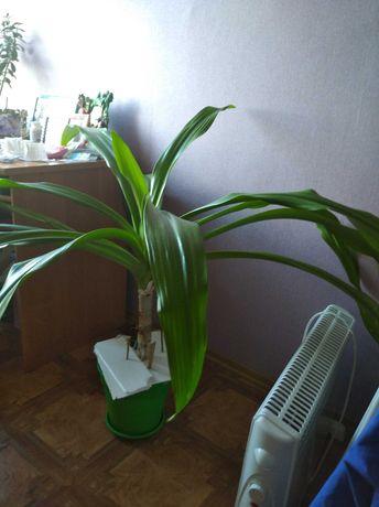 Цветок Продам кукурузку цветок пальма