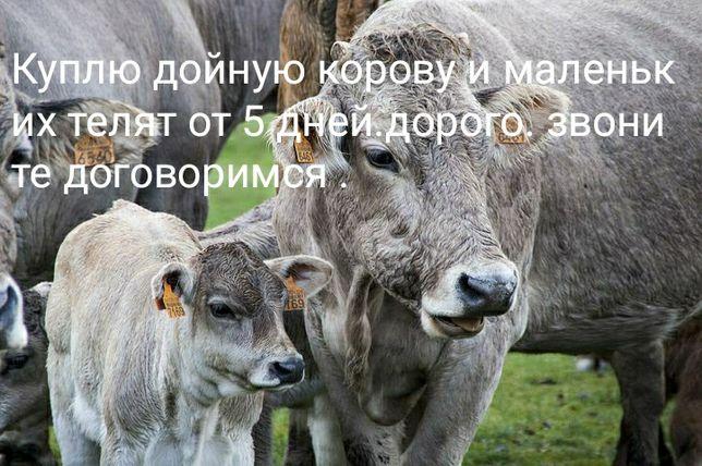 Телята , Корова...