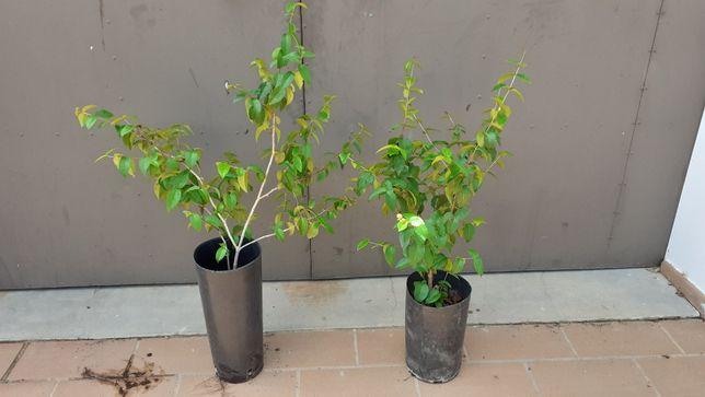 Vendo plantas Pitanga
