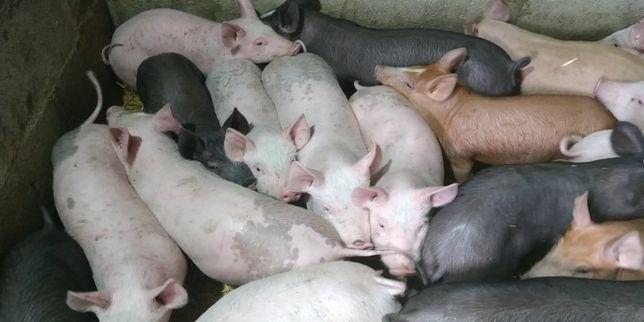 Поросята мясных пород