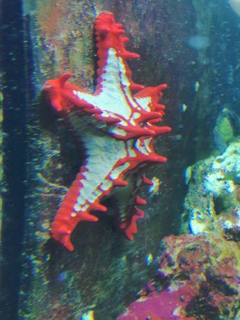 Protoreaster linckii rozgwiazda akwarium morskie