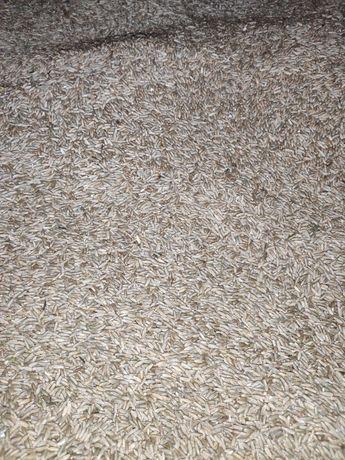 Żyto po centrali nasiennej