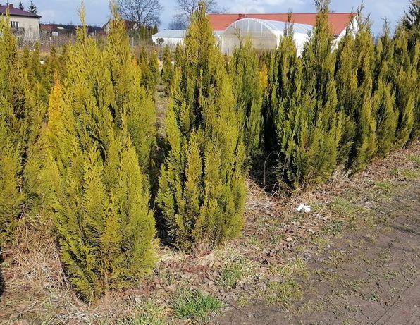 Cyprys Alumingold ok 150cm z gruntu nie szmaragd