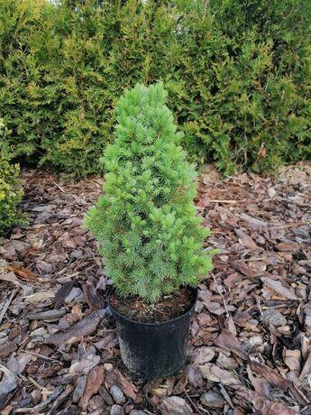 Świerk Conica Picea glauca