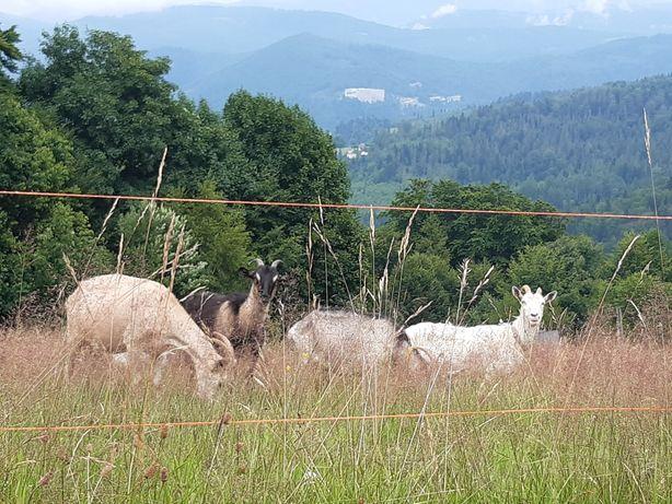 Stado mlecznych kóz 6szt