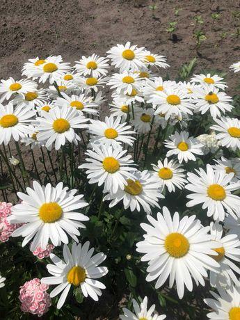 Многолетники(ромашка крупноцветковая, платикодон, хризантемы)