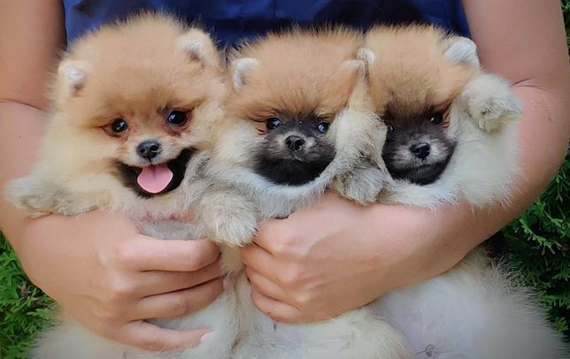 Pomeranian , szpic miniaturowy-szczenięta do odbioru