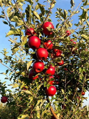 Яблука та груші Львівська область