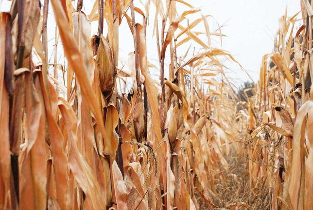 Бадилля кукурудзи