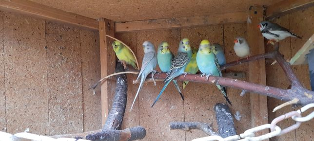 Sprzedam młode papużki