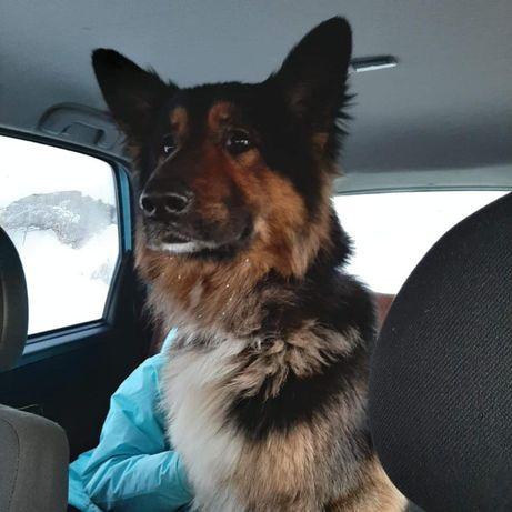 Znaleziono psa w typie owczarka niemieckiego