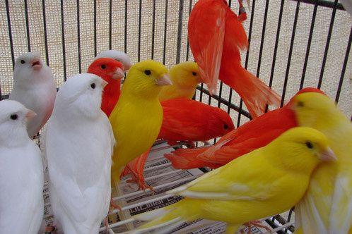 Canários vermelhos brancos e amarelos, faço envio