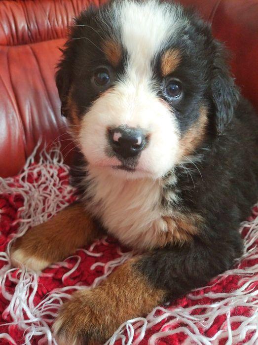 Szczeniaki Berneński Pies Pasterski Pacanów - image 1