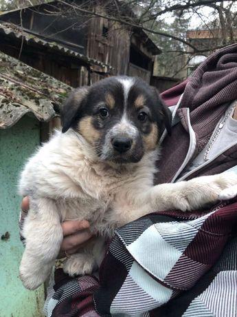 Черно белый щенок ищет дом! Киев и область Бесплатно Цуценя