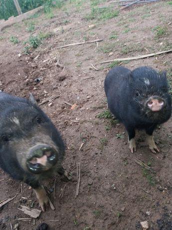2 porcas vietnamitas
