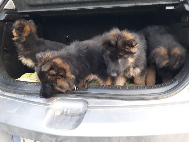 Owczarki niemieckie szczeniaki krótko i długowlose