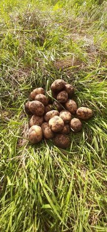продам насіневу ранню картоплю сорту рівьера