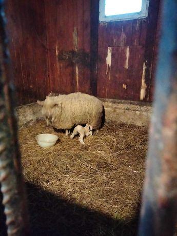 Owce, tryk, jagniak