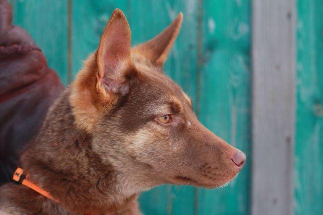 Бесплатно: щенок-подросток Карина,7 мес,стерилизована