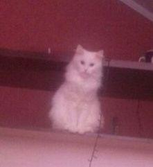 Пропала белая кошка, пушистая.