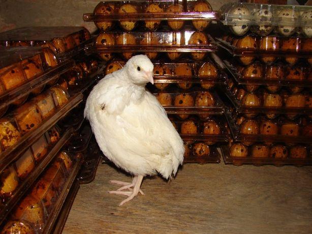 Инкубационные перепелиные яйца Техасс