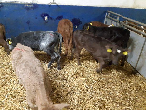 Jałówki mleczne HF, Mięsne, Byczki Mięsne, mleczne, Cieaki mięsne