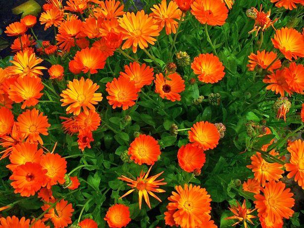 Цветок Календула лекарственная. Семена свои. Домашние.
